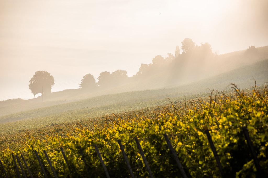 Nebel über Weinreben
