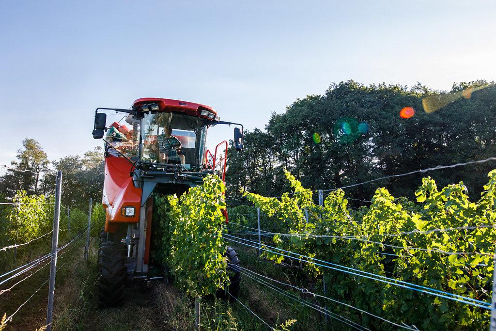Die Weinlese in Baden beginnt